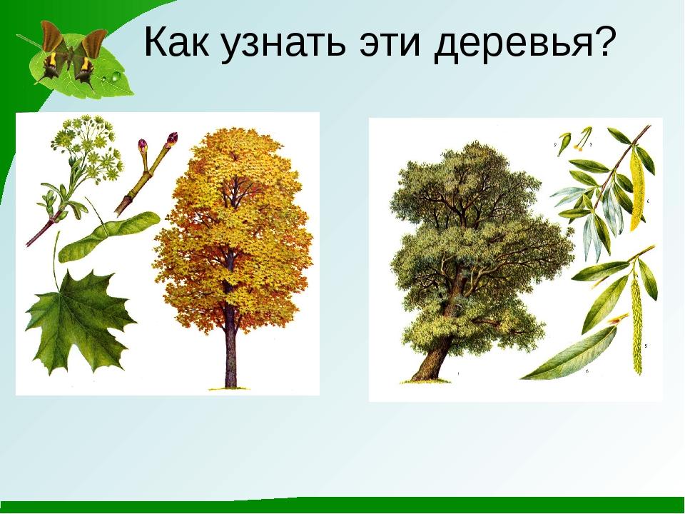 Как узнать эти деревья?