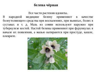 белена чёрная Все части растения ядовиты. В народной медицине белену применяю