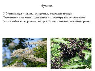 бузина У бузины ядовиты листья, цветки, незрелые плоды. Основные симптомы отр