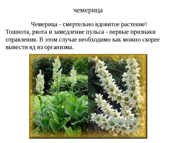 Чемерица - смертельно ядовитое растение! Тошнота, рвота и замедление пульса...