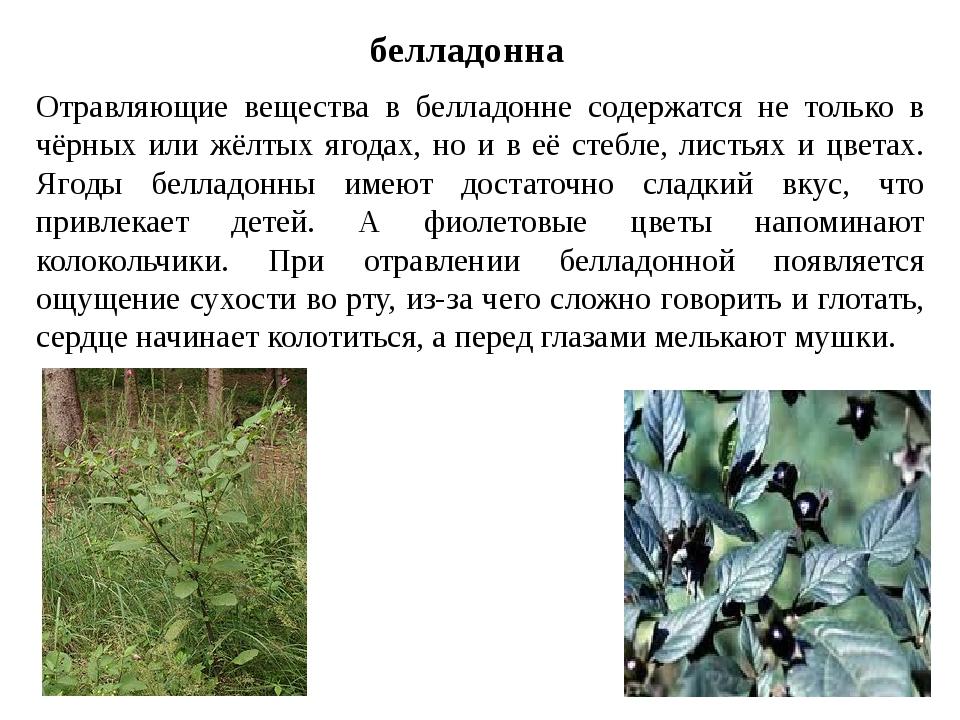белладонна Отравляющие вещества в белладонне содержатся не только в чёрных ил...