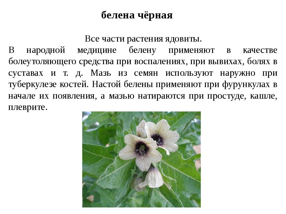 белена чёрная Все части растения ядовиты. В народной медицине белену применяю...