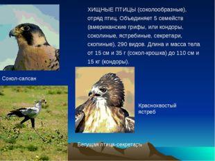 Сокол-сапсан ХИЩНЫЕ ПТИЦЫ (соколообразные), отряд птиц. Объединяет 5 семейств