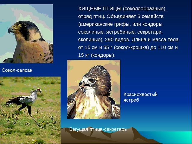 Сокол-сапсан ХИЩНЫЕ ПТИЦЫ (соколообразные), отряд птиц. Объединяет 5 семейств...
