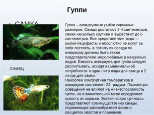 Гуппи САМКА САМЕЦ Гуппи – аквариумные рыбки скромных размеров. Самцы достигаю