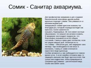 Сомик - Санитар аквариума. Для профилактики аквариума и для создания биологич