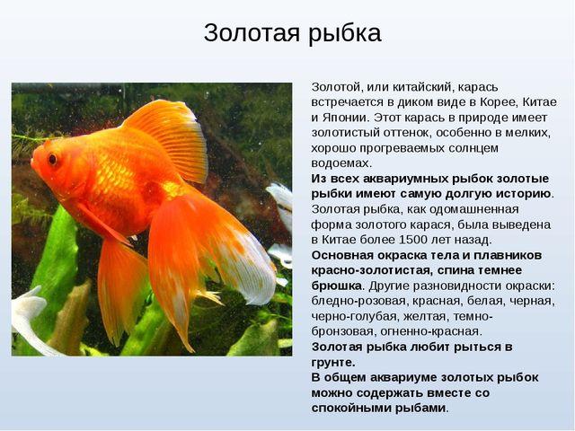 Золотая рыбка Золотой, или китайский, карась встречается в диком виде в Корее...
