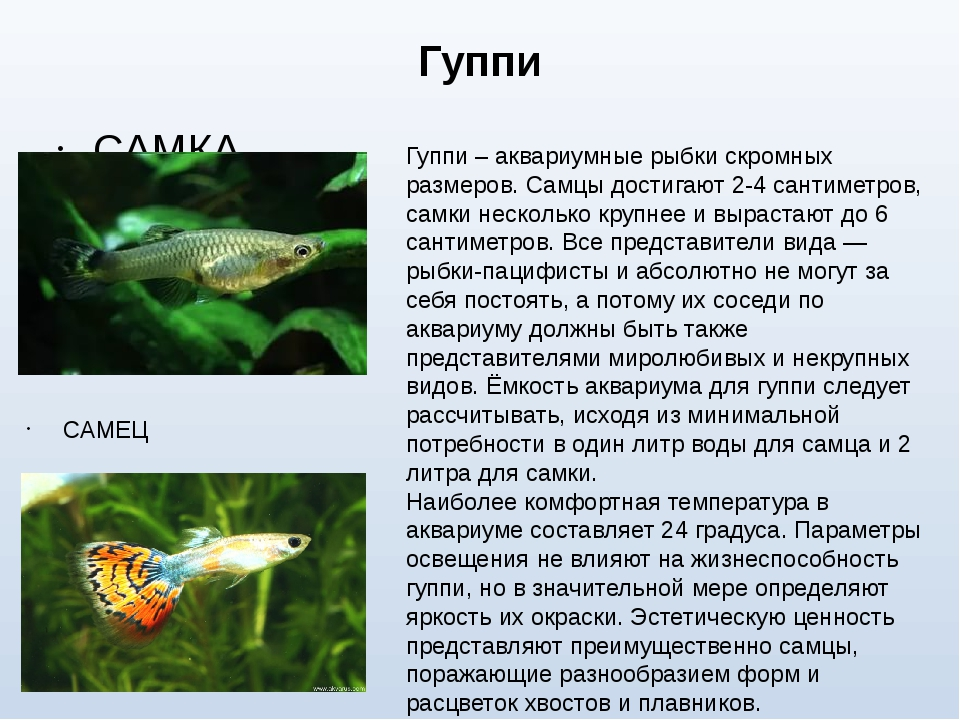 Гуппи САМКА САМЕЦ Гуппи – аквариумные рыбки скромных размеров. Самцы достигаю...
