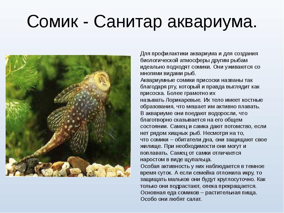 Сомик - Санитар аквариума. Для профилактики аквариума и для создания биологич...