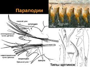 Параподии Типы щетинок