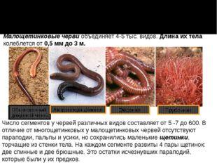 Число сегментов у червей различных видов составляет от 5 -7 до 600. В отличие