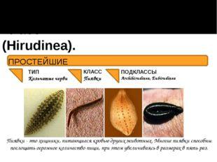 Класс Пиявки (Hirudinea). ПОДКЛАССЫ Archihirudinea, Eubirudinea Пиявки - это