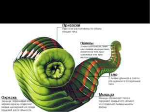 Присоски Присоски расположены по обоим концам тела. Полосы У некоторых видов,