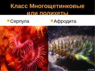 Класс Многощетинковые или полихеты Серпула Афродита