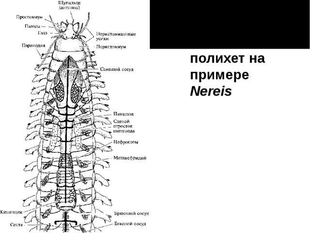 Анатомия полихет на примере Nereis