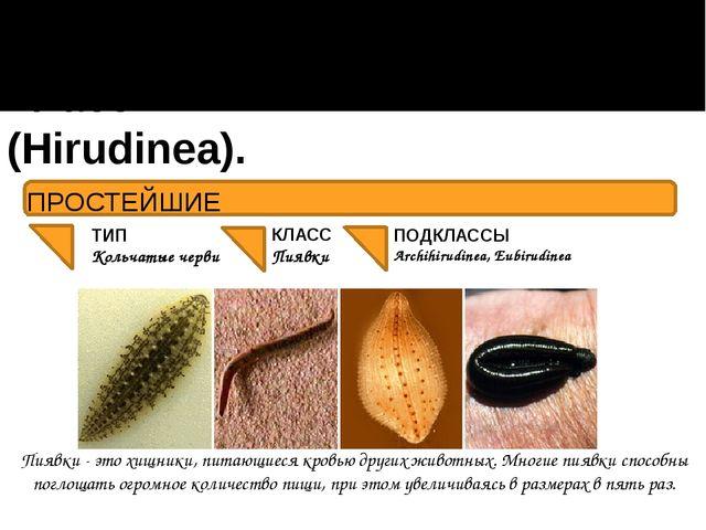 Класс Пиявки (Hirudinea). ПОДКЛАССЫ Archihirudinea, Eubirudinea Пиявки - это...