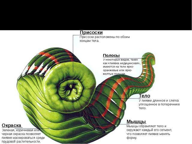 Присоски Присоски расположены по обоим концам тела. Полосы У некоторых видов,...
