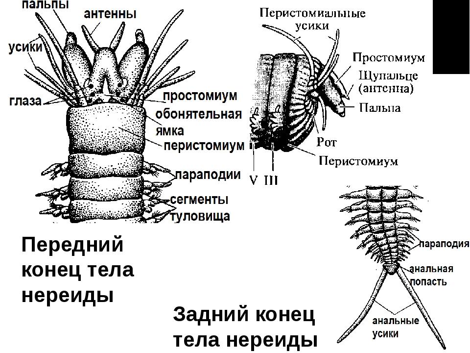Передний конец тела нереиды Задний конец тела нереиды