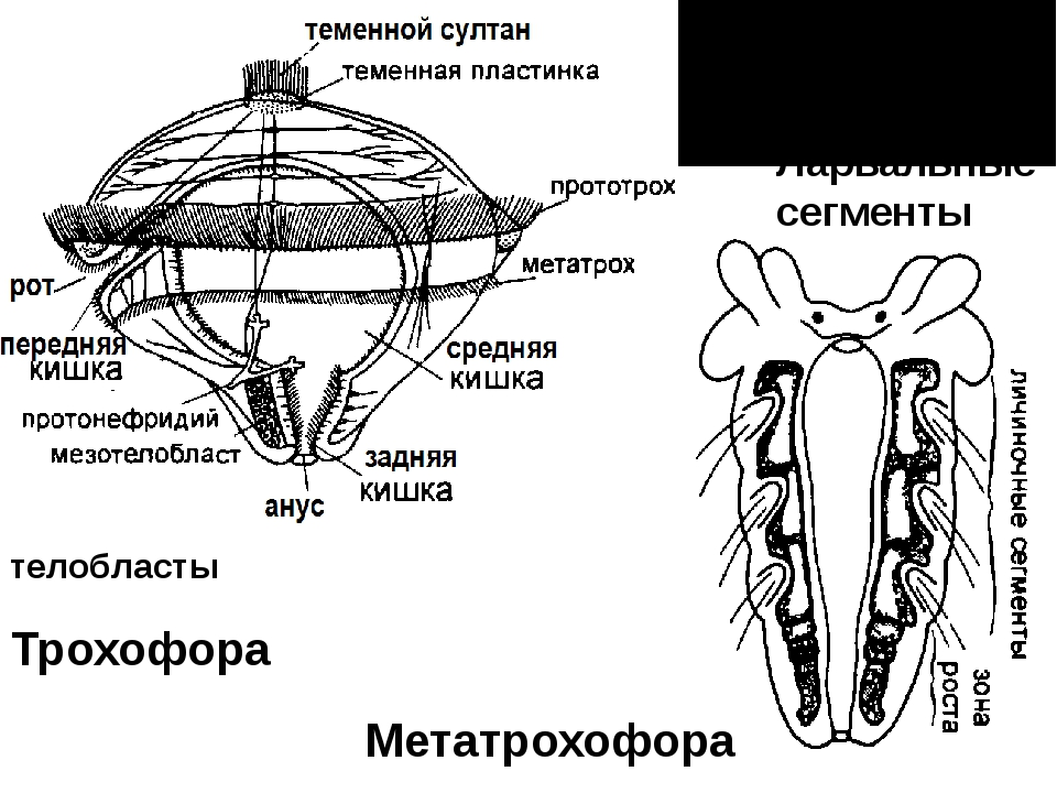 Трохофора Метатрохофора Ларвальные сегменты телобласты