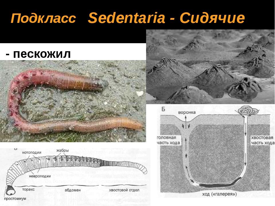 Arenicola marina - пескожил Подкласс Sedentaria - Сидячие
