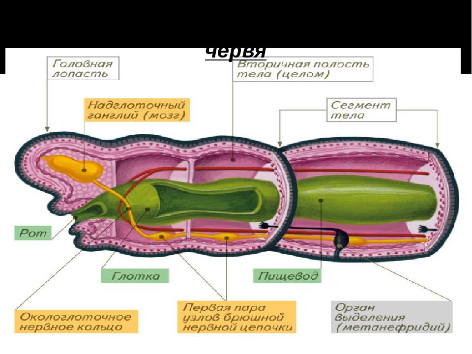 Строение головной части дождевого червя