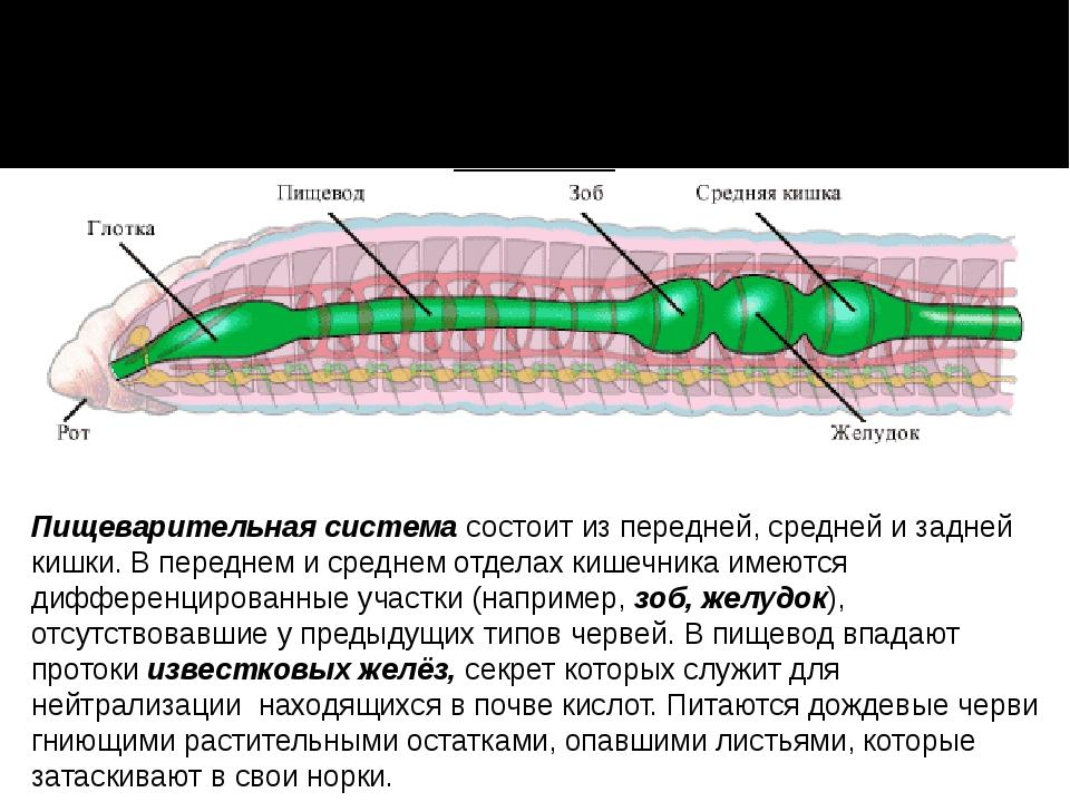 Пищеварительная система состоит из передней, средней и задней кишки. В передн...