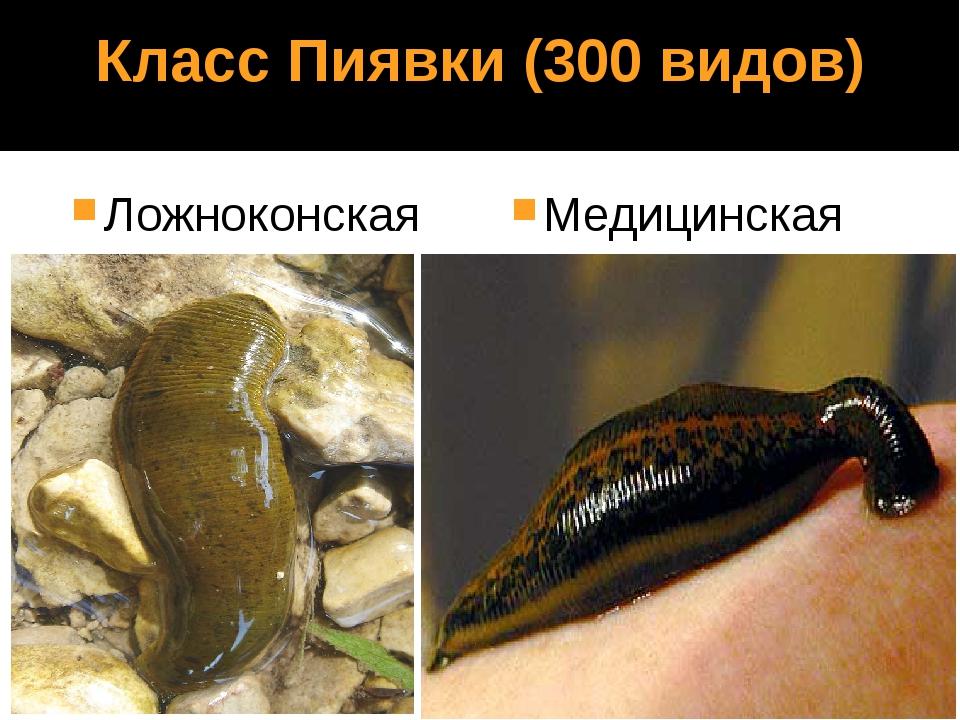 Класс Пиявки (300 видов) Ложноконская Медицинская