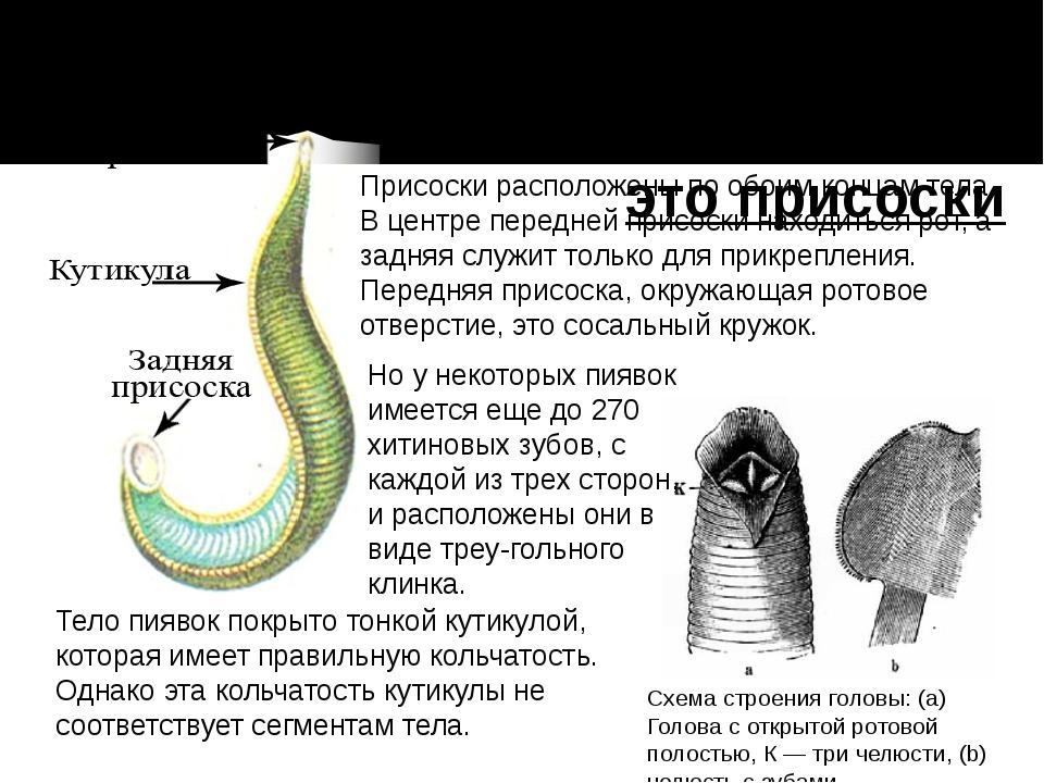 Самый знаменитый признак пиявок это присоски Присоски расположены по обоим ко...