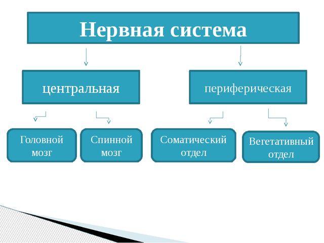 Нервная система центральная периферическая Головной мозг Спинной мозг Соматич...