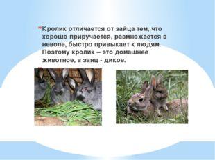 Кролик отличается от зайца тем, что хорошо приручается, размножается в невол