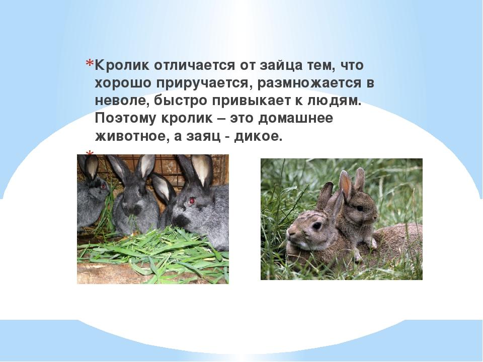 Кролик отличается от зайца тем, что хорошо приручается, размножается в невол...