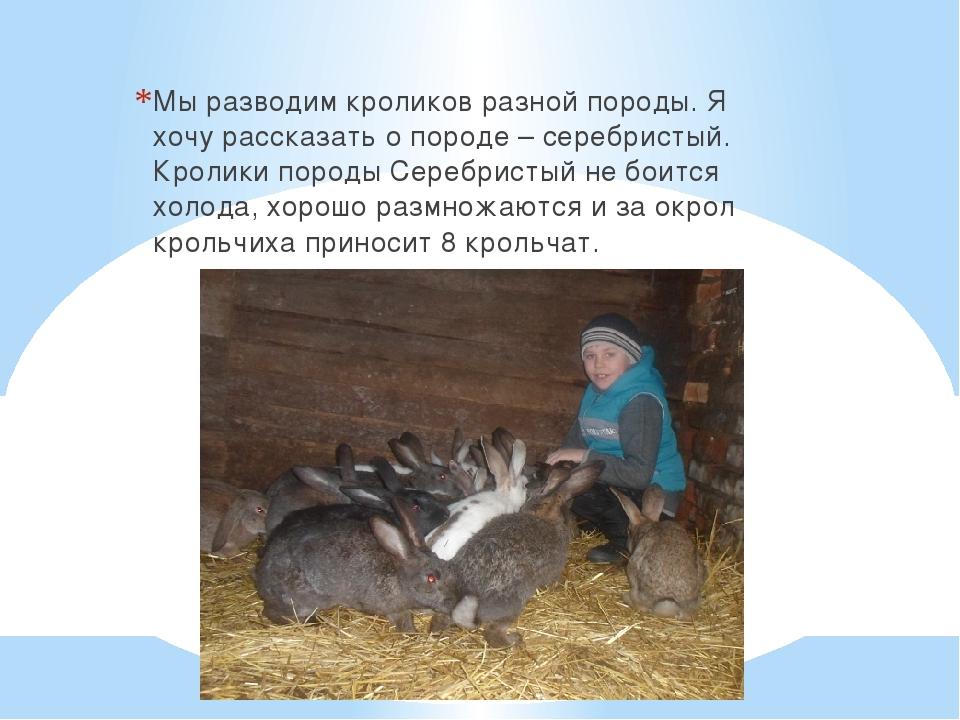 Мы разводим кроликов разной породы. Я хочу рассказать о породе – серебристый...