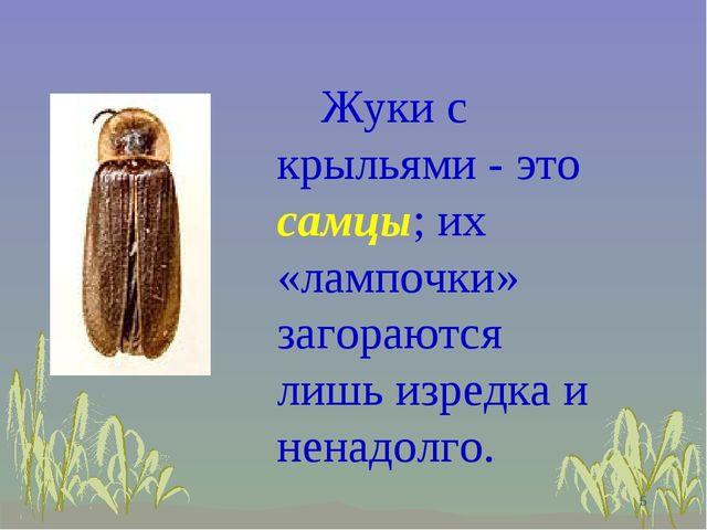 Жуки с крыльями - это самцы; их «лампочки» загораются лишь изредка и ненадол...