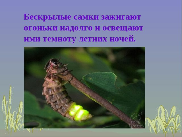 Бескрылые самки зажигают огоньки надолго и освещают ими темноту летних ночей...