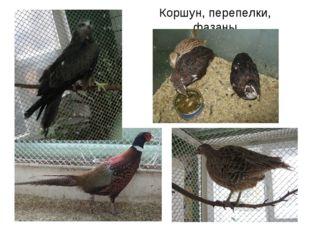 Коршун, перепелки, фазаны