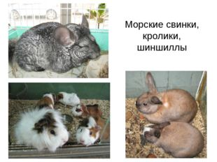 Морские свинки, кролики, шиншиллы