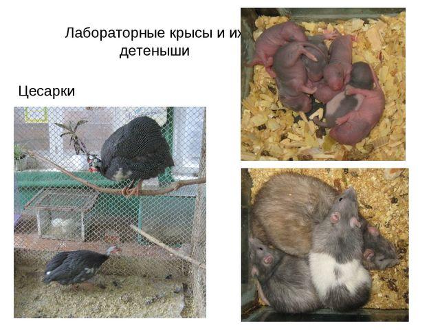 Лабораторные крысы и их детеныши Цесарки