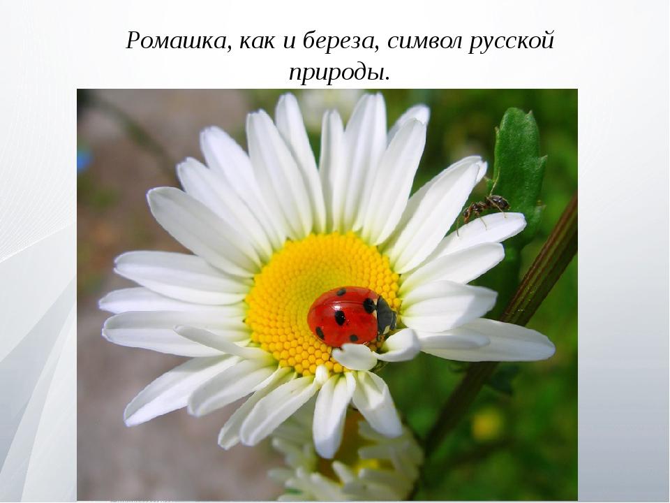 Ромашка, как и береза, символ русской природы.