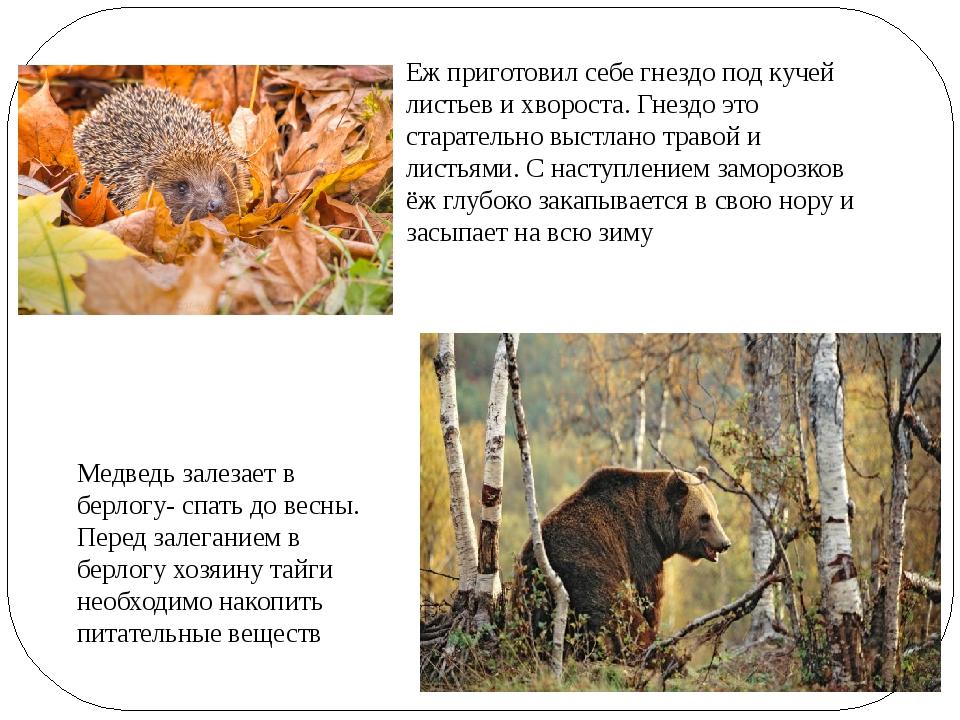 Медведь залезает в берлогу- спать до весны. Перед залеганием в берлогу хозяин...