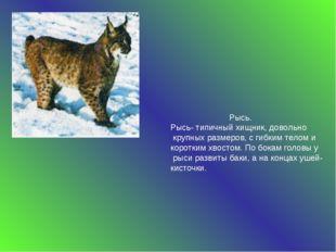 Рысь. Рысь- типичный хищник, довольно крупных размеров, с гибким телом и кор