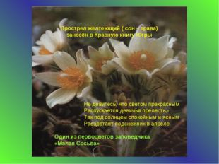 Прострел желтеющий ( сон – трава) занесён в Красную книгу Югры Один из первоц