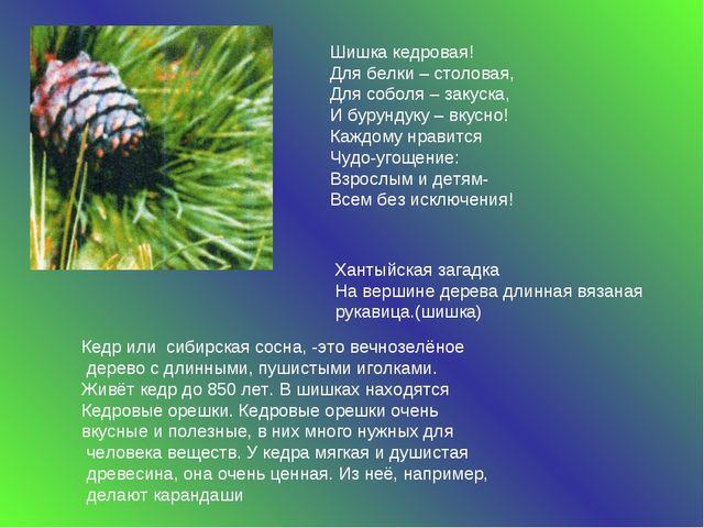 Кедр или сибирская сосна, -это вечнозелёное дерево с длинными, пушистыми игол...
