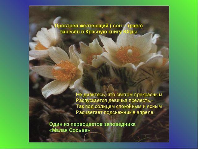 Прострел желтеющий ( сон – трава) занесён в Красную книгу Югры Один из первоц...