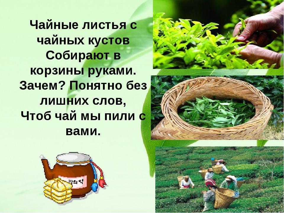 Чайные листья с чайных кустов Собирают в корзины руками. Зачем? Понятно без л...