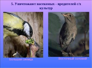 * 5. Уничтожают насекомых - вредителей с/х культур Восточный соловей Большая