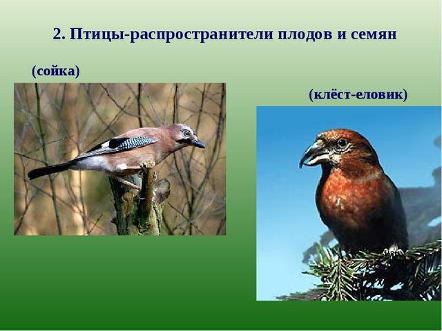 2. Птицы-распространители плодов и семян (сойка) (клёст-еловик)