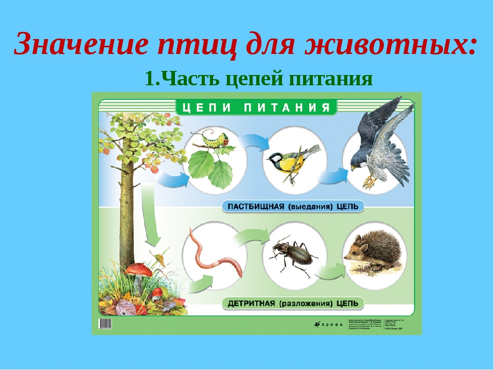 Значение птиц для животных: 1.Часть цепей питания