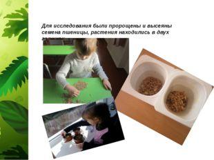 Для исследования были пророщены и высеяны семена пшеницы, растения находились