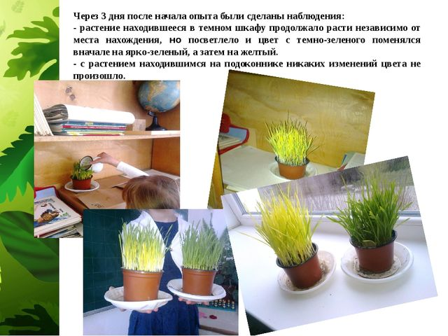 Через 3 дня после начала опыта были сделаны наблюдения: - растение находившее...