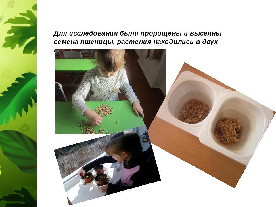 Для исследования были пророщены и высеяны семена пшеницы, растения находились...